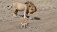 看这只雄狮是怎么带孩子的,和人类爸爸一样,真实写照!