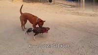 两只公鸡打架,狗子上去劝架,你们不要再打了!