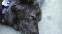 萌宠:爱犬情深,根据真实故事改编的泰国催泪短片