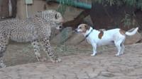 豹子遇见狗狗会什么样?捕猎能手秒变大猫,网友:被同化了?