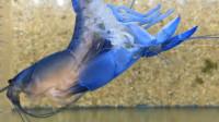 """蓝色小龙虾不停抽搐,下一秒上演""""金蝉脱壳"""",展示华丽蜕变"""