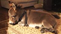 世界上最小的毛驴,自以为是条狗,没事就喜欢学狗叫!