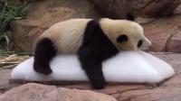热成熊猫瘫,大熊猫抱着冰块不肯撒手,冰块在我就在!