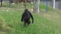 猩猩学人类走路上瘾,动作还有模有样,网友:要进化成人了?