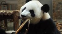 那些年熊猫的魔性吃播视频,看到根本停不下来