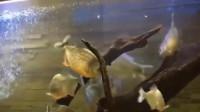 食人鱼遇到河豚后会怎样?男子大胆尝试,场面一度失去控制!