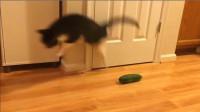 猫为什么会害怕黄瓜?科学是这么解释的,看完忍俊不禁