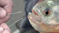 食人鱼为什么能成为水中一霸?用一根铁丝试试你就明白了