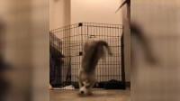 狗子猫咪搞笑小合集可爱又有趣