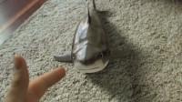 会卖萌的鲨鱼见过吗?小伙子拿鲨鱼当宠物,他是怎么做到的!