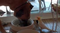 鹦鹉给吃饭的狗狗唱歌,千万憋住别笑,狗子气得干脆饭都不吃了