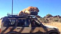老虎跳上汽车车顶,吓得司机一脚急踩油门,随后让人哭笑不得!