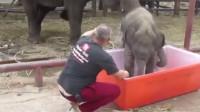 小象自己爬进浴盆洗澡,每次都摔着进去,太逗了!