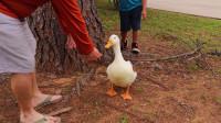 小鸭子把人当成了妈妈,每天寸步不离,场面滑稽有爱!