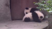 两只熊猫在地上互怼,小短腿之间的较量