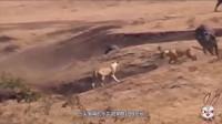 水牛被狮群扑倒,本以为去而复返的同伴是救星,不料却是死神来临