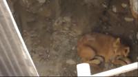 在施工现场,发现一只掉在深井的狗狗,很无助的狗狗