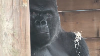 猩猩惹老爸生气了,不停地挑逗猩猩爸,真是一对欢喜冤家!