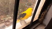 黄鹂在外玩够了回到家中,主人假装不开窗,小鸟的反映真逗
