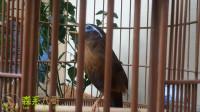 一字尾的画眉鸟漂亮,叫口清晰,婉转多变,值得一听