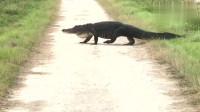 一只鳄鱼正穿过小路爬到旁边的河塘里,这位摄影师真勇敢
