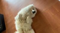 抗拒洗澡的萨摩崽子!鲁班:狗不吵也不闹,就是不要洗澡!