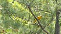 这就是古诗里说的黄鹂鸟,好几年没见过了,这次还听到了它的叫声