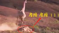 最没有尊严的狮子,捕猎不成,反被长颈鹿按在地上来回摩擦