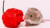 给老鼠喂死神辣椒,老鼠会有什么反应?答案让人猜不到