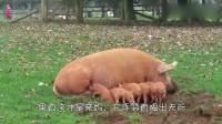 育儿说:小猪不听话,看猪妈妈是怎么教训的