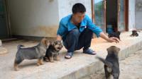 华农兄弟:小狗长大了不少,在场里到处乱跑,抓它们来调教一下