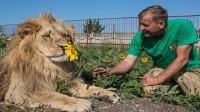 夫妻捡了一只狮子,养了几年未出意外,结果儿子回来那天杯具了