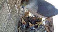 戾气十足的老鹰,是怎么给自己的宝宝喂食的呢?镜头记录温馨全程