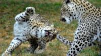 两只豹子一言不合就开干,豹王之争状况惨烈,究竟鹿死谁手了?
