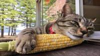 猫咪拿玉米当枕头,一脸陶醉样子萌坏众人,睡完就吃的喵生巅峰?