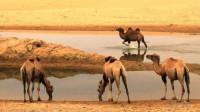 骆驼几周没喝水了,体重减轻40%,一看见水便一顿豪饮