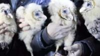 农民捡到4只猴脸怪鸟,每天吃8斤肉,专家赶到一瞧脸色大变!