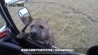 疣猪被鬣狗群猎杀,为了不被掏肛,疣猪想了个好办法