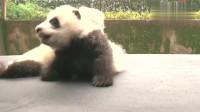 有没有懂熊猫语的?简直都要萌化了,快看这里有只嘤嘤怪