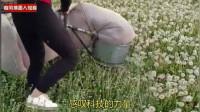 感叹科技的力量!蒲公英花茶如何收割的?让你见识下这效率!