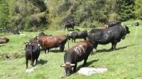 13头牛突破了栅栏 跳下50公尺深的悬崖
