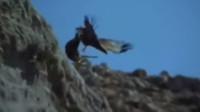 老鹰捕捉猎物 手段也是很残忍的