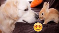 主人出门太急,把兔子跟狗狗放在一起,回来一看笑岔气