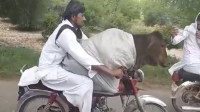 小伙骑摩托一路狂奔,两腿间竟坐着一头牛