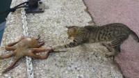 猫咪看到章鱼过马路, 忍不住尝了一口章鱼的触角, 章鱼却不高兴了
