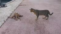 猫咪遇见一只章鱼,本以为能饱餐一顿,结果煮熟的鸭子飞走了!