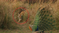 孔雀在山林大叫,不小心吵醒了睡觉的老虎,接下来的一幕让人意外