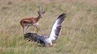 老鹰受伤失去飞行能力,不料羚羊趁机报复,下一秒意外发生!