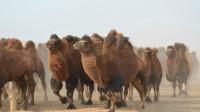 骆驼能够多长时间不喝水?体重减轻40%,一看见水便开始猛喝