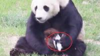 一只鸟被大熊猫抓到,接下来大熊猫的做法,忍住千万别笑